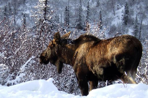 Календарь охотника на январь, календарь охотника январь 2018, охота в январе, открытие охоты в январе, закрытие охоты в январе, охота на кабана в январе, на кого охотиться в январе, календарь охотника на январь 2018, охотничий календарь на январь, охота на пушных в январе, охота на рысь