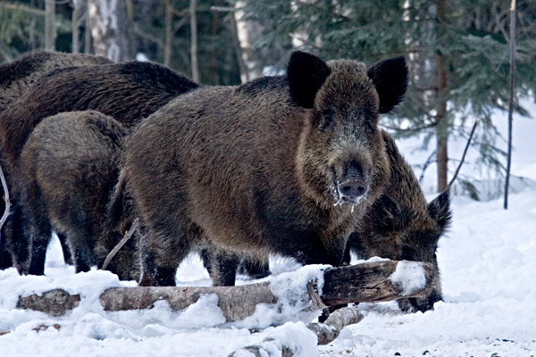 Охота в Якутии, сроки охоты в Якутии, охота на оленя в якутии, охота в Саратовской области, охотугодья Саратовской области, охота на кабана в Саратовской области