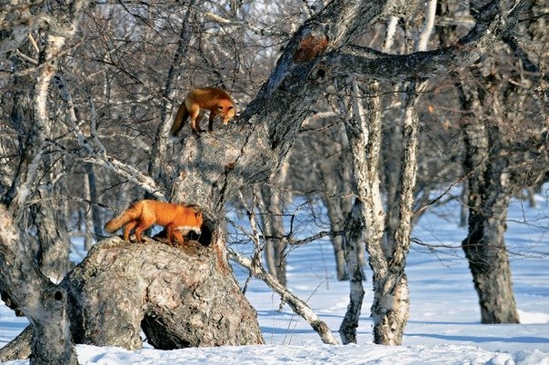 Сроки охоты в Подмосковье на пушных зверей, охота в Московской области, осенне зимний сезон охоты в Московской области 2014 - 2015