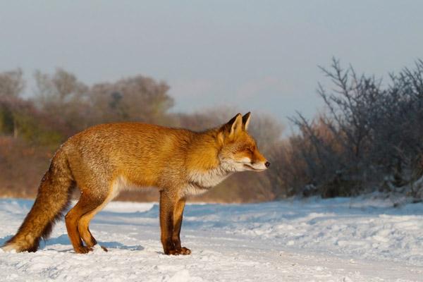 Охота в январе, сроки охоты в январе, на кого охотиться в январе, календарь охотника на январь, охота в январе на кабана, охота в январе на лося, охота в январе на зайца, охота в январе на лису, охота в январе на норку