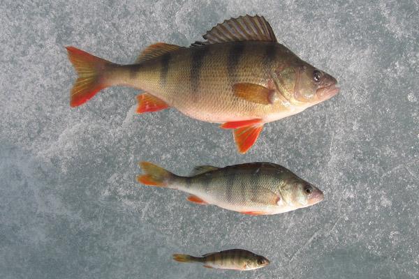 Рыбалка в феврале, ловля рыбы в феврале, ловля в феврале, рыбалка в феврале на щуку , рыбалка в феврале на окуня, рыбалка в феврале на плотву, рыбалка в феврале на налима, какова рыбалка в феврале
