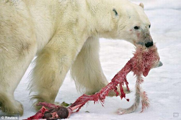 Международный день полярного медведя, по-русски белого медведя, по-английски International Polar Bear Day