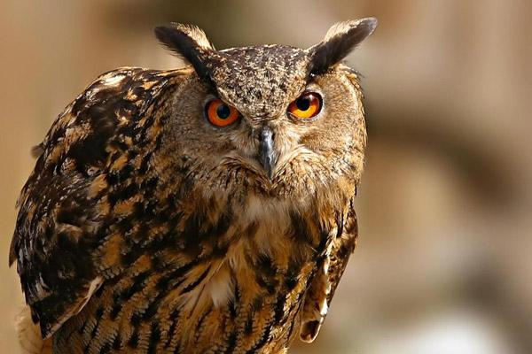 Филин, фото филин, сова, большая сова, ушастая сова, филин фото, картинки филин, учет филинов, филины в Беловежской пуще, птицы, совы, фото сов, бородатая неясыть, Беловежская пуща