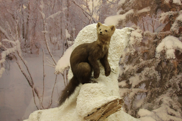 Выставка охотничья, охота в Костромской области, охотничьи трофеи Костромской области 2014, выставка охотничьи трофеи в Костроме, музей природы в Костроме, охотничья выставка, охотничьи хозяйства, Кострома, охота фото, охота видео, охота 2014, охота бесплатно, бесплатная охота