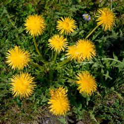 весенние травы, полезные травы, первая зелень, первые весенние травы, съедобные травы, дикоростущие травы, полезная зелень, польза крапивы, что есть ранней весной, какие травы собирать ранней весной, какие дикие травы можно есть