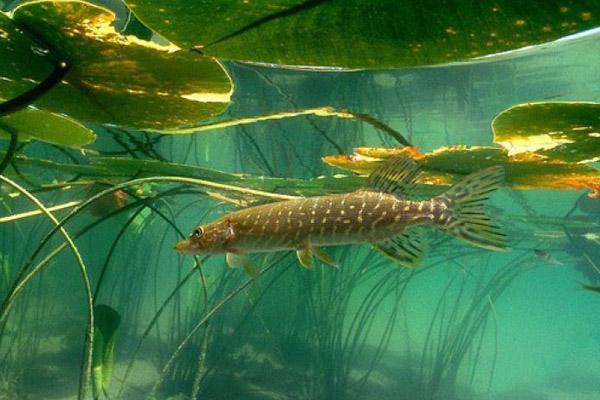 какая рыба клюет в августе на реке