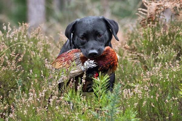Охота в июле, на кого охотиться в июле, сроки охоты с собаками, открытие охоты с собаками, охота с собакой, охота на кабана, охота на оленя, календарь охотника на июль