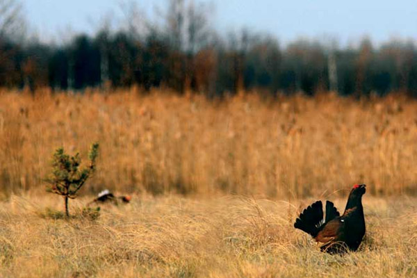 Весенняя охота 2017 в Ярославской области, открытие весенней охоты 2017 в Ярославской области, сроки весенней охоты 2017 в Ярославской области, весенняя охота в Ярославской области 2017 на водоплавающую дичь, правила весенней охоты 2017 в Ярославской области, охота на  вальдшнепа, охота на тетерева, охота на глухаря, охота на гуся, охота на утку