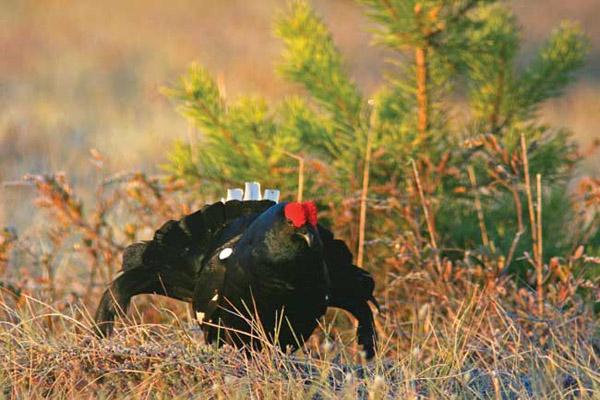 Весенняя охота 2017 в Оренбургской области, сроки весенней охоты 2017 в Оренбургской области, открытие весенней охоты 2017 в Оренбургской области, весенняя охота на гуся, весенняя охота на тетерева, весенняя охота на вальдшнепа