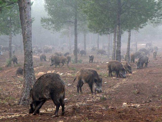 Охота на кабанов в России, размышления опытного охотника о способах охоты на кабана