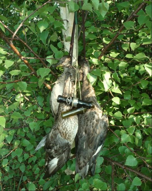 Охота на утку с манком - шалаш