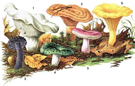 гриб груздь белый как приготовить