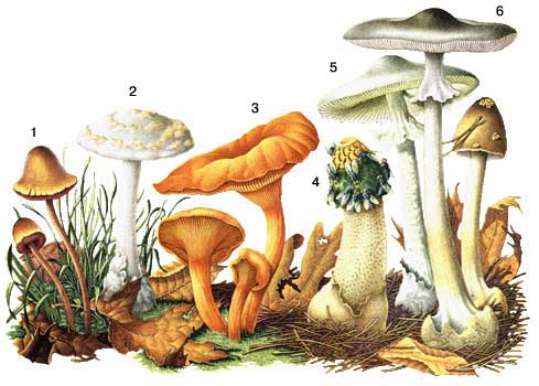 Грибы как отличить ядовитые грибы