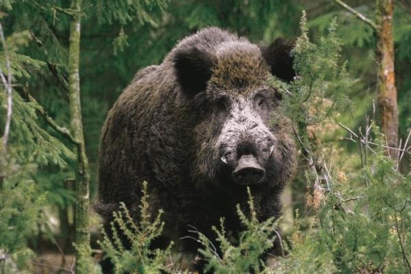 Кабан и охота на него: Способы охоты на кабана