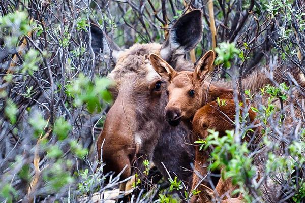Календарь охотника июнь 2015, охота, календарь охотника на июнь, охота в июне, охота на кабана, охота на оленя, охота на косулю, жизнь зверей в июне, календарь охоты в июне, жизнь птиц в июне, охота на крота в июне