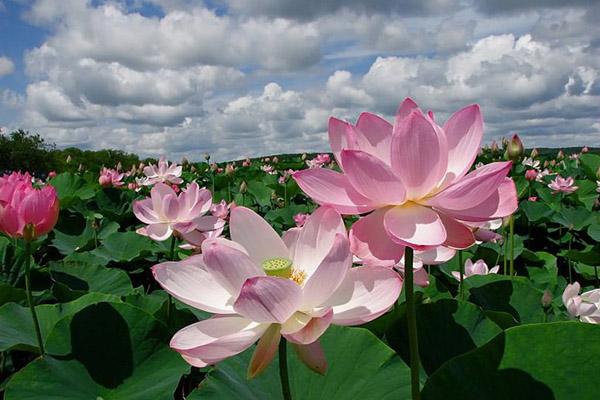 Лотос, цветение лотоса, цветение лотосов в Астрахани, цветение лотоса в дельте Волги, время цветения лотоса, когда цветет лотос, как цветет лотос, цветы лотоса, лотосовые поля, экскурсии на лотосовые поля
