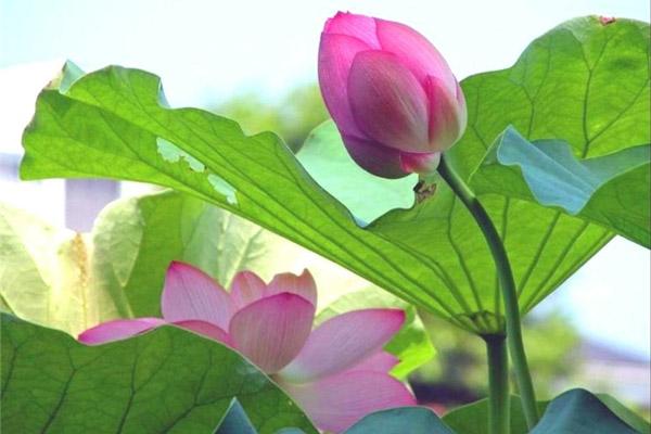 Время цветения лотосов