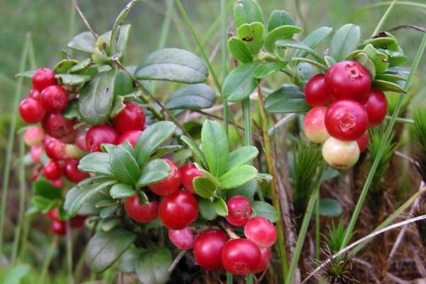 Сбор ягод, когда собирать ягоды, полезные свойства ягод, правила сбора ягод, ягодный календарь, календарь сбора ягод, когда собирать бруснику, полезные свойства брусники