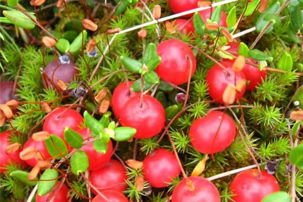 Сбор ягод, когда собирать ягоды, полезные свойства ягод, правила сбора ягод, ягодный календарь, календарь сбора ягод, полезные свойства клюквы, когда собирать клюкву