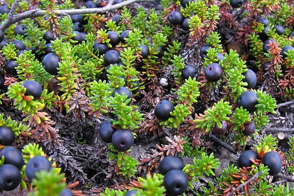 полезные свойства пурпурного чая чанг шу