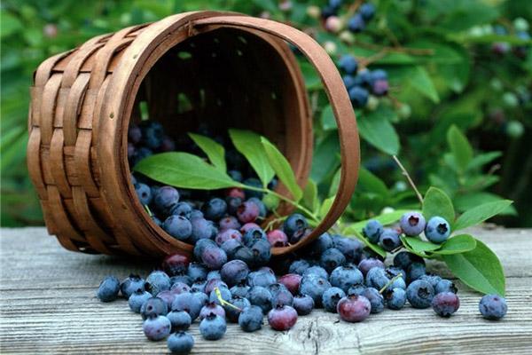 Сбор ягод, когда собирать ягоды, полезные свойства ягод, правила сбора ягод, ягодный календарь, календарь сбора ягод, полезные свойства брусники, полезные свойства черники, полезные свойства клюквы, полезные свойства земляники, когда собирать клюкву, когда собирать чернику