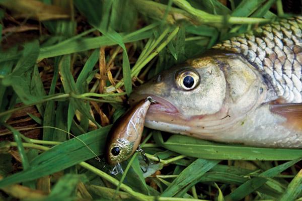 Рыбалка, ловля голавля в августе, где ловить голавля, как поймать голавля, стоянки крупного голавля, поведение голавля, приманки на голавля, воблер на голавля, лучший воблер на голавля, удилище на голавля, тонущий воблер, плавающий воблер на голавля