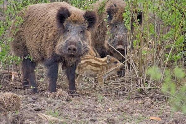Дикий кабана, виды кабана, ачс, гибриды кабана и свиньи, европейский подвид кабана, румынский северокавказский подвид кабана, среднеазиатский подвид кабана, дальневосточный подвид кабана, охотоведы, скрещивание кабана, отлов кабанов, охотничьи хозяйства, чума свиней