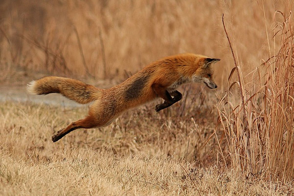 Охота на лису, охота на лисицу, ружье на лису, патроны на лису, охота на лису с гончими, охота на лису с норными, охота на лису с подхода, тактика охоты на лису, ружье и патроны для охоты на лису