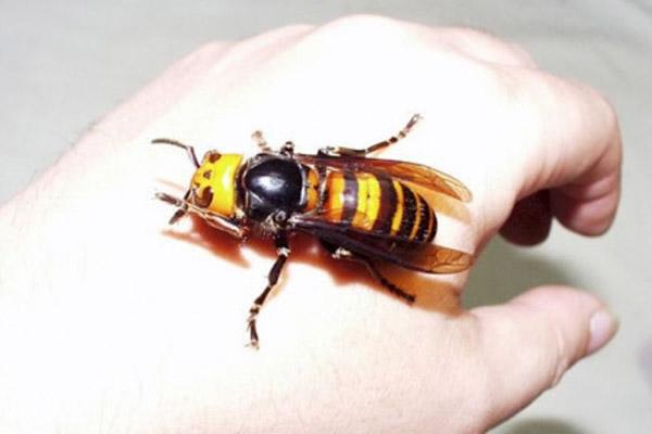 укус осы, Что нужно знать про укус осы