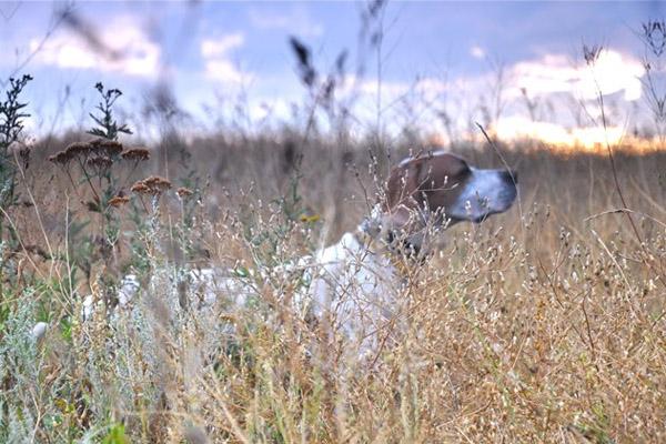 Календарь охотника, календарь охотника июль 2015, охота в июле, правила охоты, открытие охоты в июле, открытие охоты на болотно-луговую дичь, охота с подружейными собаками, охота на кабана в июле, охота на дупеля, охота на бекаса, натаска собак в июле, нагонка собак