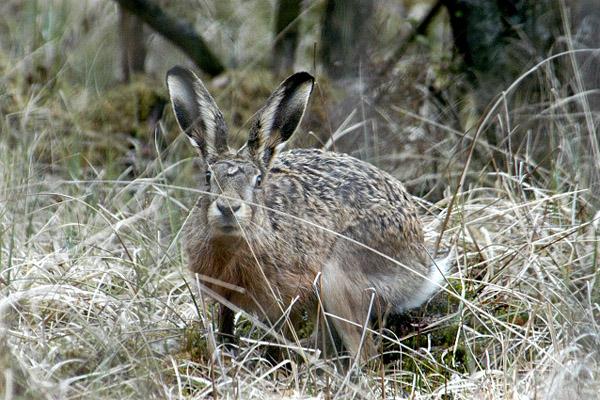 Где искать зайца русака... кочки для