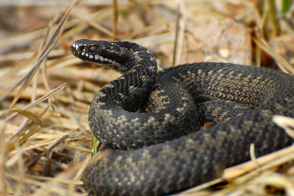 Ядовитые змеи, укусила змея, когда кусаются змеи, что делать, если укусила змея, ядовитые змеи Подмосковье, гадюка обыкновенная, симптомы укуса ядовитой змеи, первая помощь при укусе змеи, змея укусила собаку, укус змеи