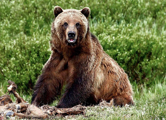 Охота на медведя. Несколько дней охоты на овсах