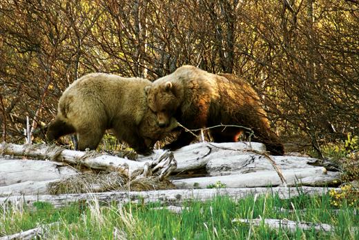 Путешествие на Аляску, медведи Аляски, бурый медведь, туризм на Аляске, фото медведей на Аляске, медведь человек, как вести себя при встрече с медведем, фотограф и медведь