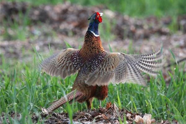 Охота в Крыму на фазана