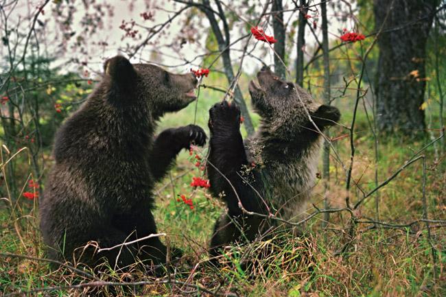 Охота на медведя, медведи, медвежата ситроты, биологическая станция Чистый лес, Валентин Пажетнов, спасение медвежат, медвежонок, медвежья станция, как спасти медвежонка, чем кормить медвежонка