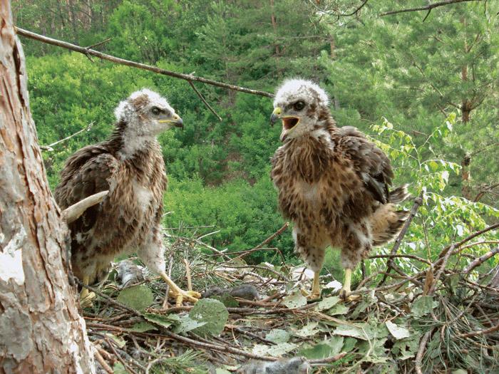 Хищные птицы рязанской области