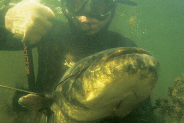 Подводная охота, сом, рыбалка на сома, подводная охота на сома, сом людоед, как поймать сома, как стрелять сомов, охота на сомов, где искать сома, лежки сомов