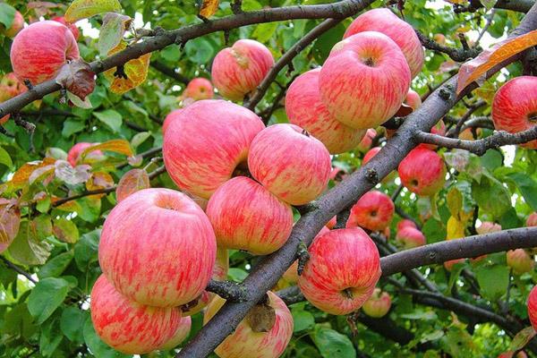 Польза яблок, полезные свойства яблок, польза и вред яблок, яблочная диета, польза печеных яблок, польза сушеных яблок, витамины в яблоках, что полезного в яблоках
