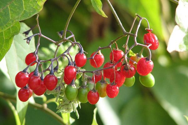 Ядовитые ягоды, ядовитые ягоды картинки, ядовитые ягоды фото, ядовитые лесные ягоды, ядовитая красная ягода, отравление ядовитыми ягодами, определитель ядовитых ягод, что нельзя есть в лесу, ядовитые ягоды России