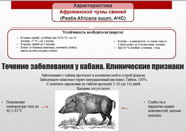 Клинические признаки заболевания африканской чумой свиней