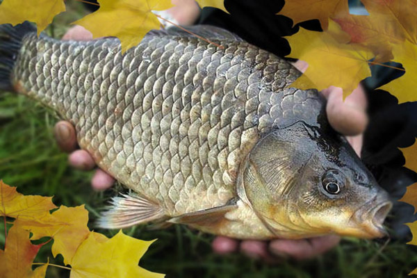 Рыбалка осенью, ловля щуки осенью, ловля карпа осенью, ловля карася осенью, ловля в сентябре, ловля в октябре, ловля в ноябре, на что ловить в сентябре, на что ловить в октябре, ловля на спиннинг осенью, ловля на кружки осенью, на что ловить осенью