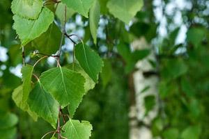 кора дуба полезные свойства и применение