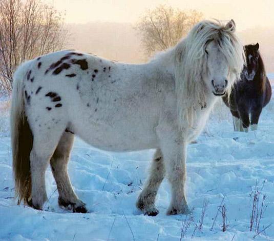 Якутская лошадь: Удивительные лошади аборигенной якутской породы (ФОТО, ВИДЕО)