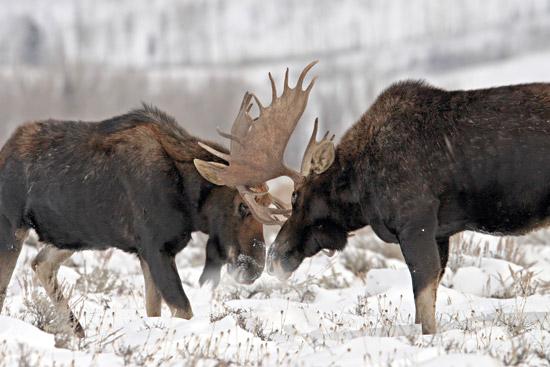 Охота на лося, охота на лося на реву, коллективная охота на лося, куда ранен лось, убойные места лося, как стрелять по лосю, загонная охота на лося, охота на лося с лайкой