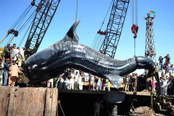 Рекордные рыбы, рыбные рекорды, рекордные рыбы фото, белуга, рекордная белуга, рыбалка, фотографии рыб гигантов, рыбные рекорды книги Гиннеса, самая ценная рыба, самая старая рыба, самая большая рыба, самые ядовитые рыбы, книга рекордов диво, рыбные рекорды России, фото рекордных рыб, книга рекордов рыб