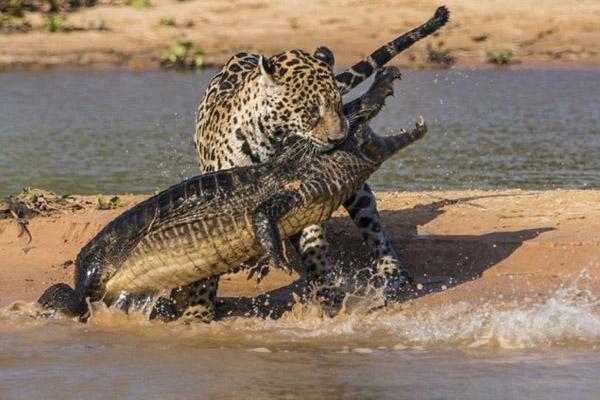 Картинки по запросу фото ягуар на охота