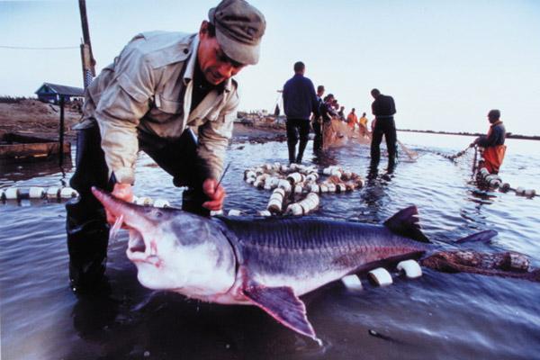 Белуга, рыбалка, стерлядь, осетр, рыбалка на Волге, рыбалка на Каспии, выпуск малька белуги, воспроизводство белуги, ловля белуги, рыбалка в Волгоградской области