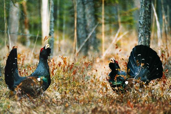Весенняя охота 2018 в Амурской области, сроки весенней охоты в Амурской области 2018, правила охоты 2018 в Амурской области, охота в Амурской области