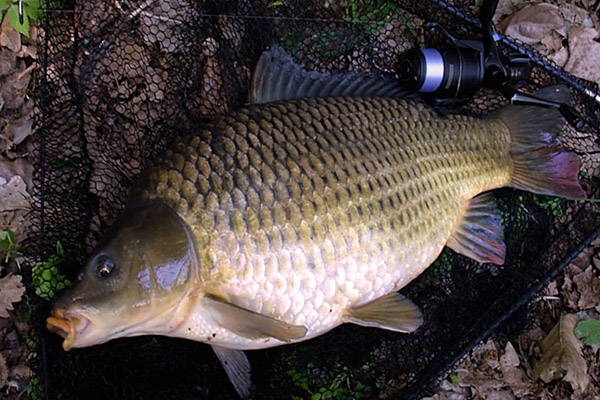 Перлвка для рыбалки, какую рыбу ловить на перловку, как варить перловку для рыбалки, перловка для рыбалки рецепт, ловля на прикормку из перловки, ловля на фидер на перловку, перловка насадка для рыбалки, каша из перловки для рыбалки, как запарить перловку, Как насаживать перловку на рыболовный крючок